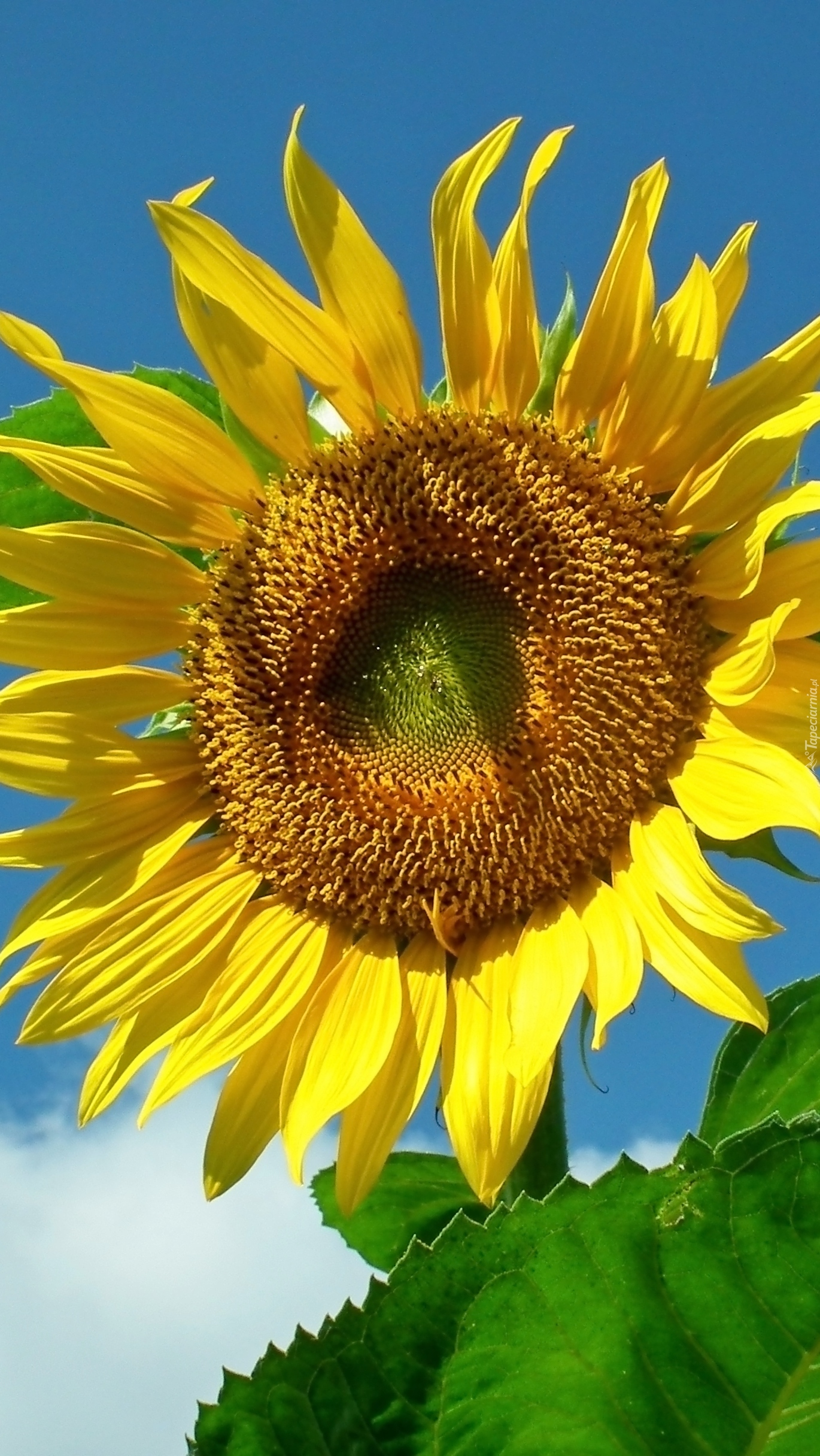 Słonecznik w blasku słońca