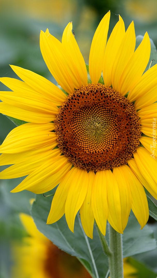 Słonecznik w zbliżeniu