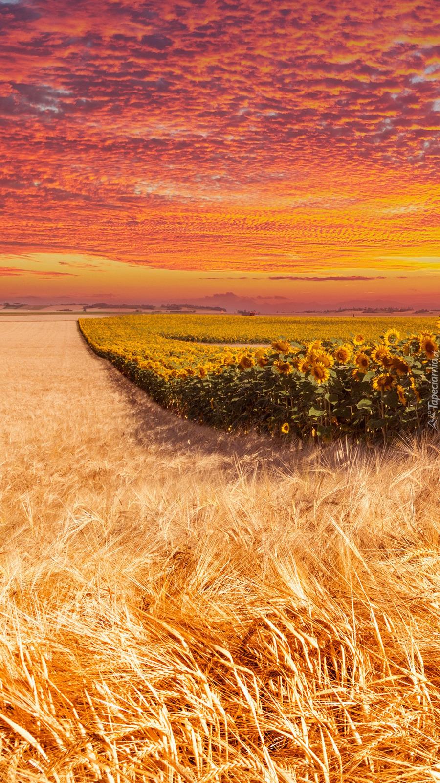 Słoneczniki i zboże na polu