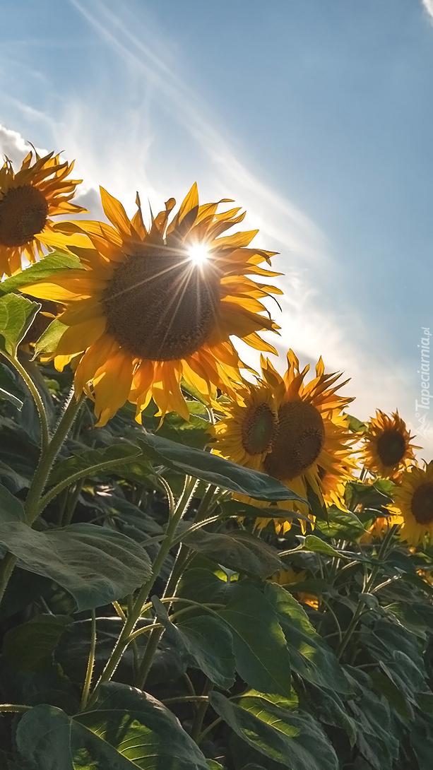 Słoneczniki w blasku słońca