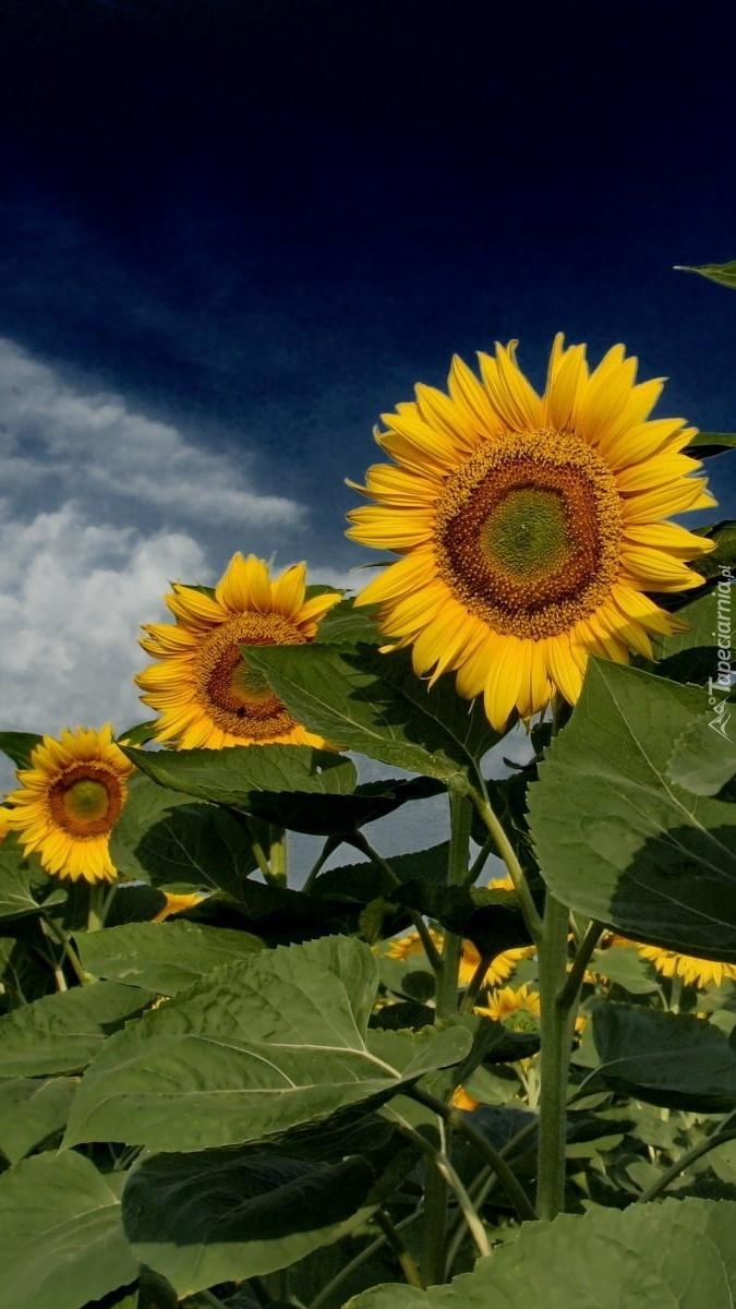 Słoneczniki w szeregu