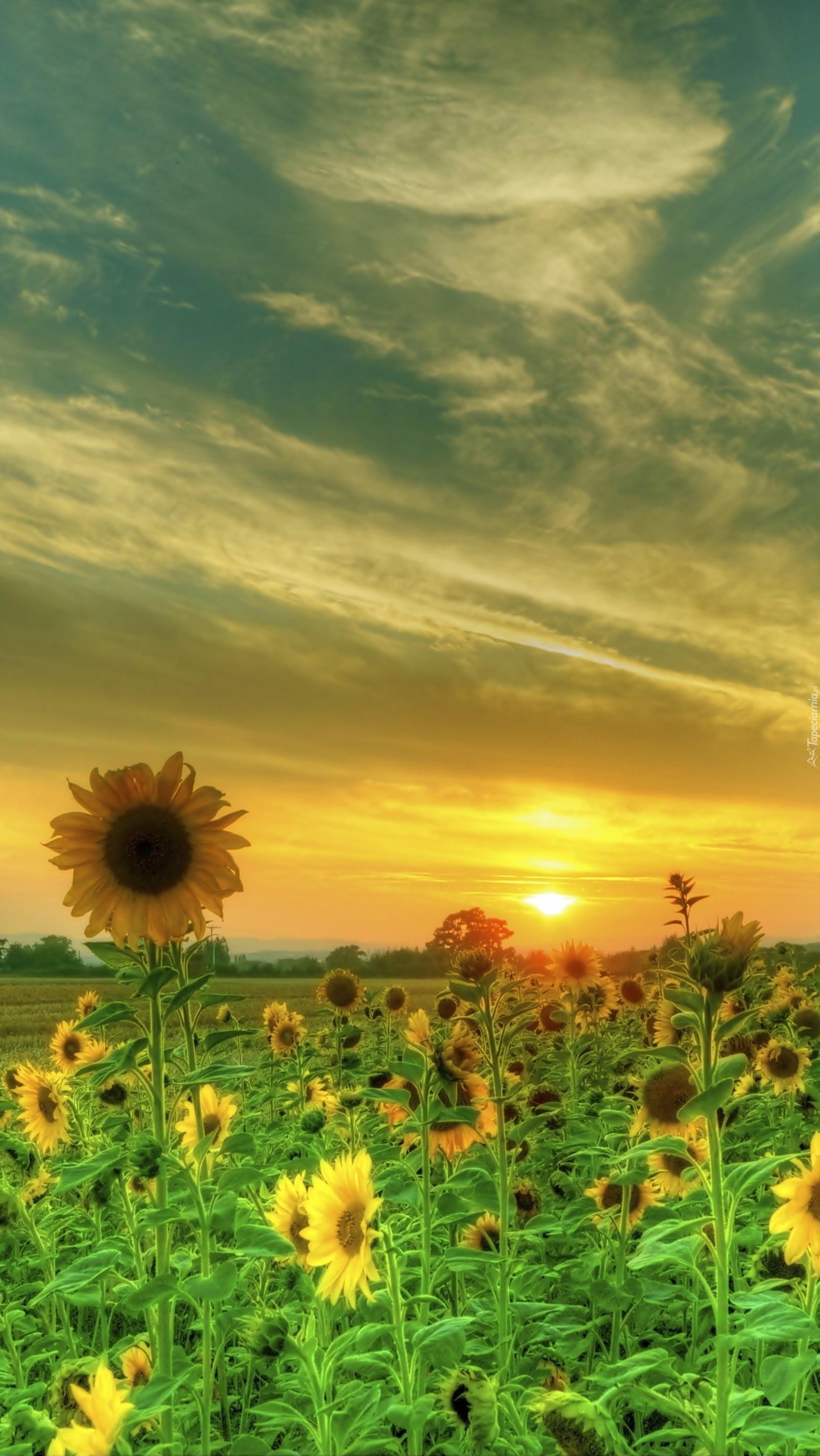 Słonecznikowy zachód słońca