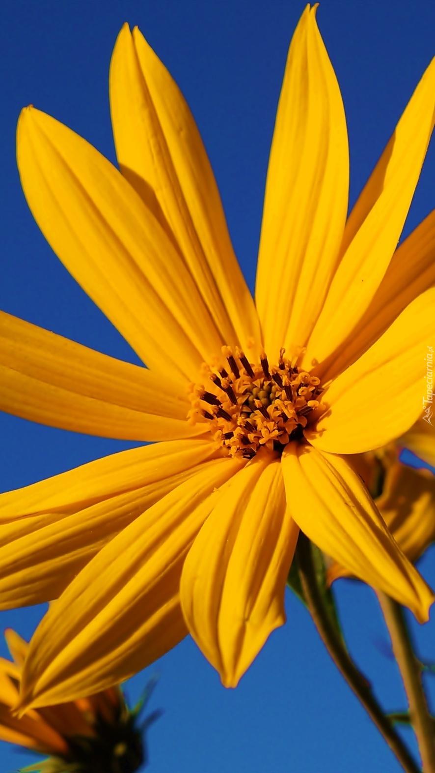 Słoneczny żółty kwiat