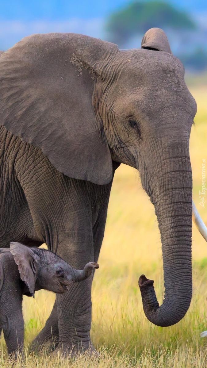 Słoniątko z mamą