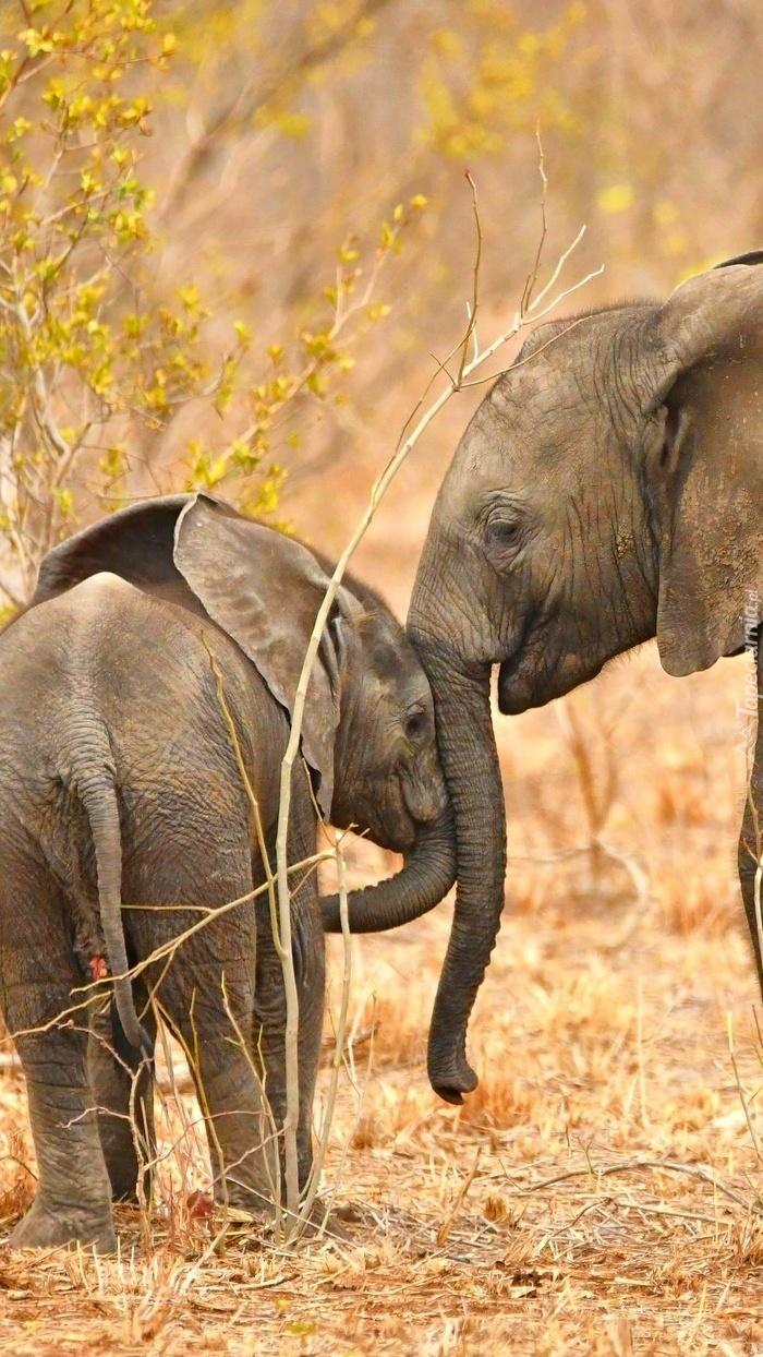 Słonie mają to do siebie że zawsze trzymają się razem