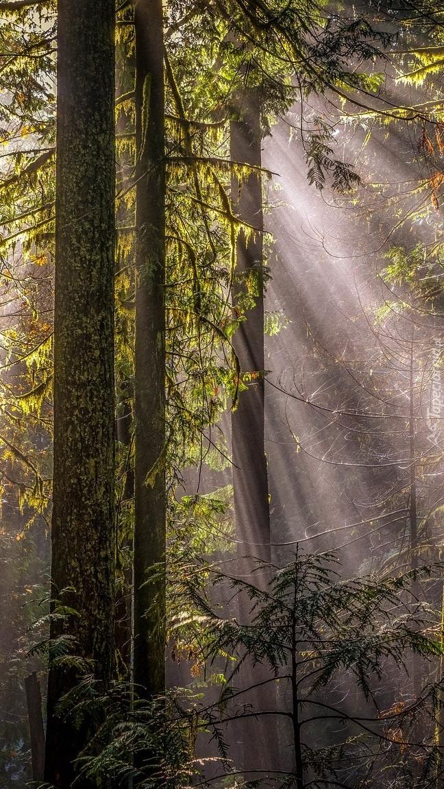 Smugi słonecznego światła wśród drzew