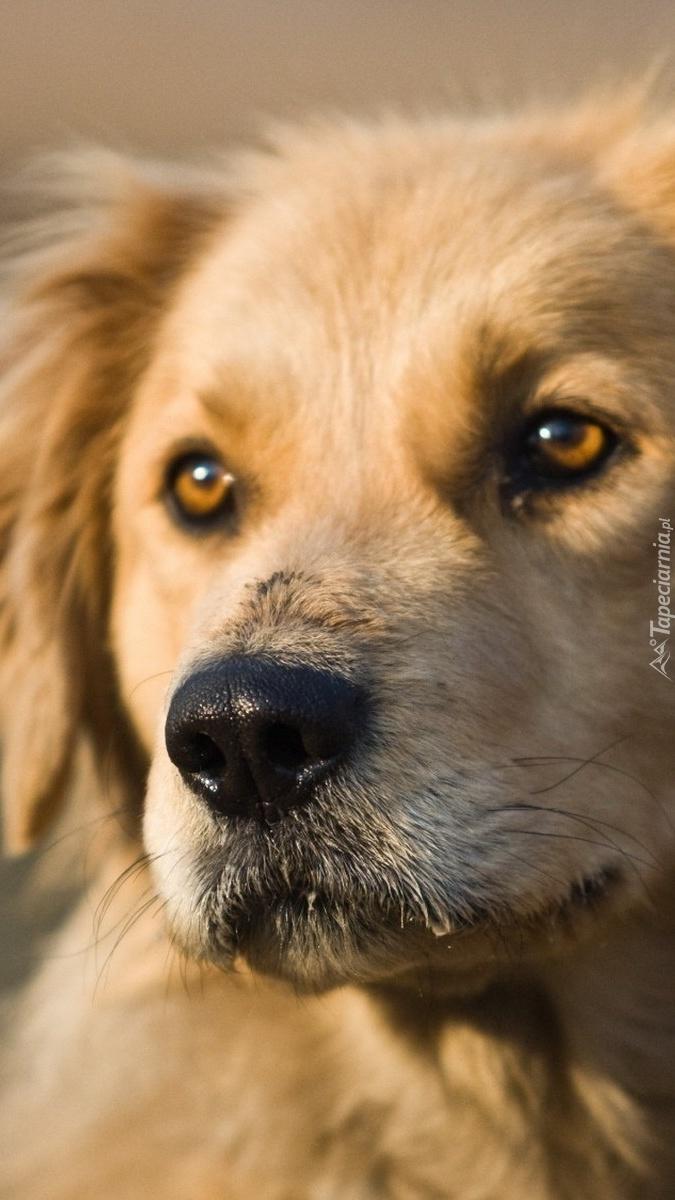 Smutne oczy golden retrievera