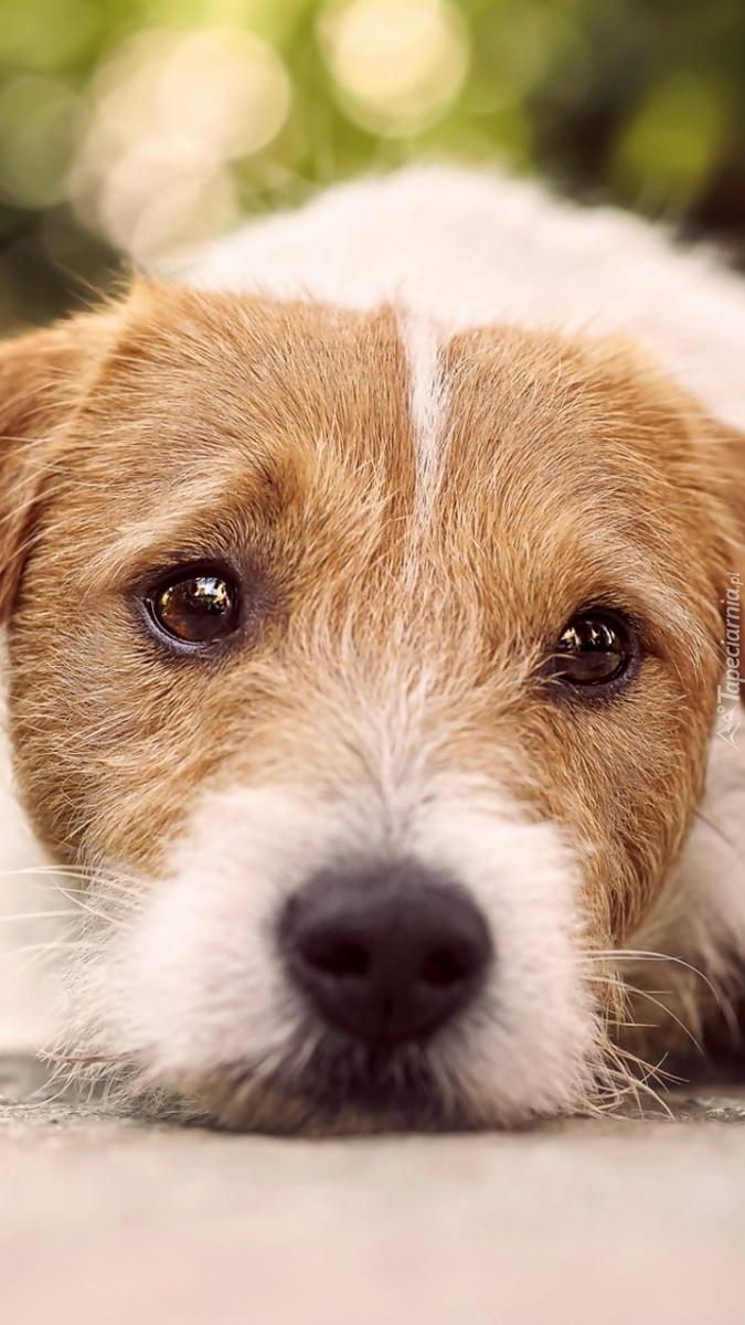 Smutny Jack Russel terrier