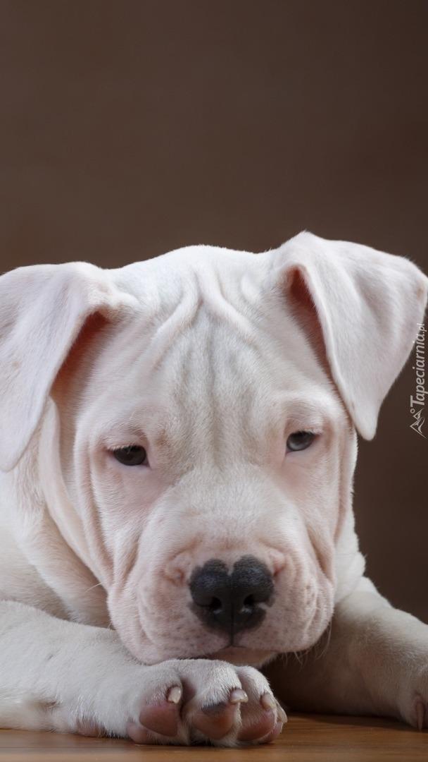 Smutny pit bull terrier