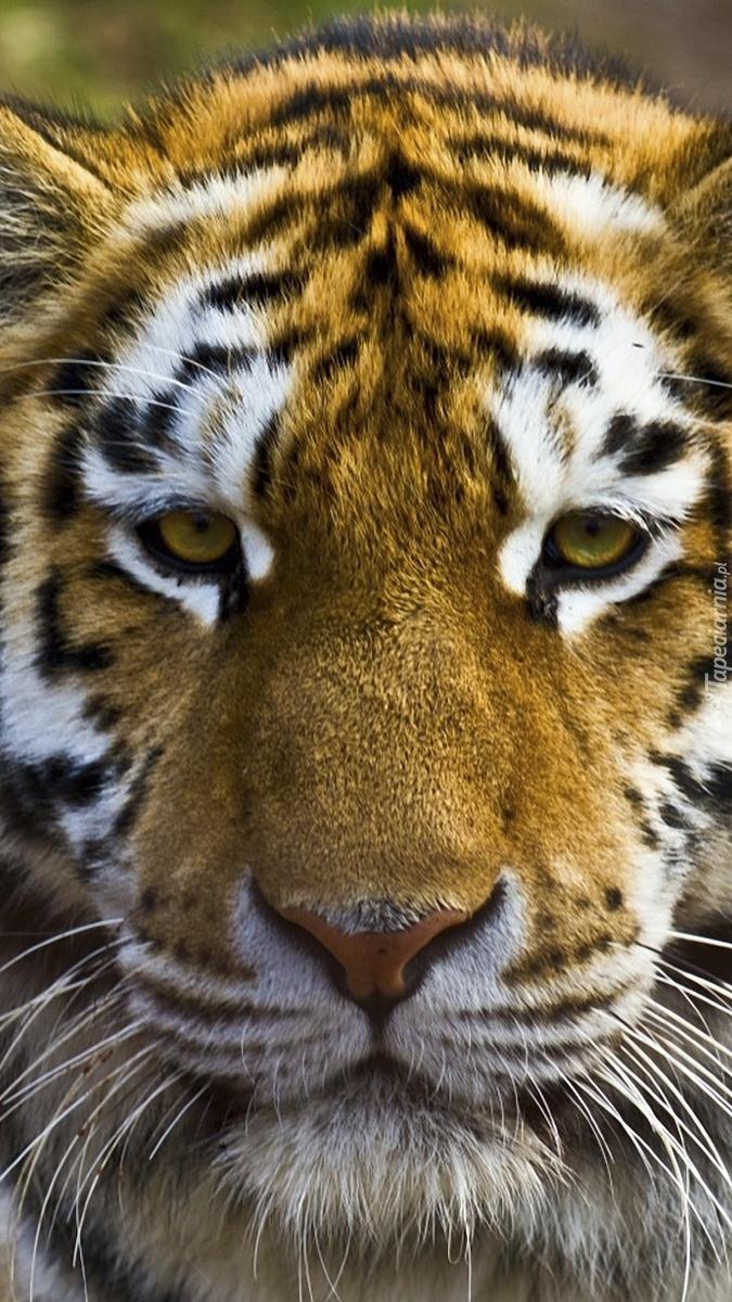 Smutny tygrys