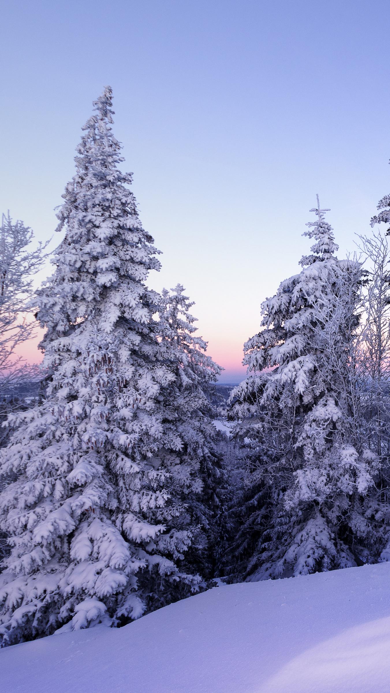 Śnieg pod ośnieżonymi świerkami