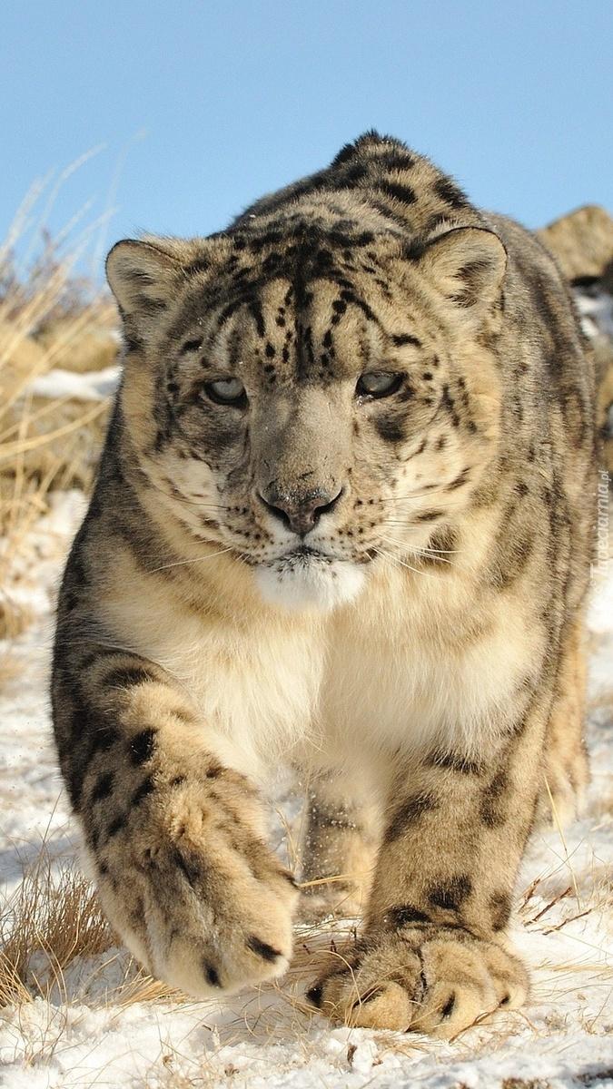 Śnieżna pantera na tropie