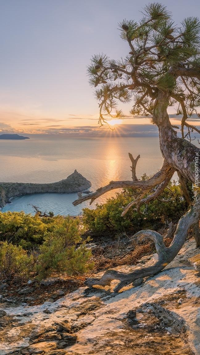Sosna i widok na Morze Czarne