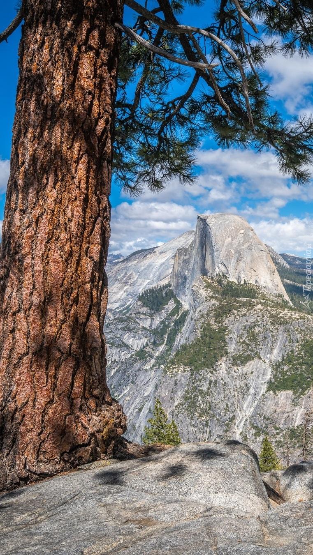Sosna na skale i szczyt Half Dome