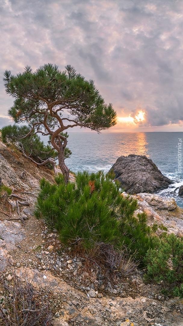 Sosna na skale przy brzegu morza