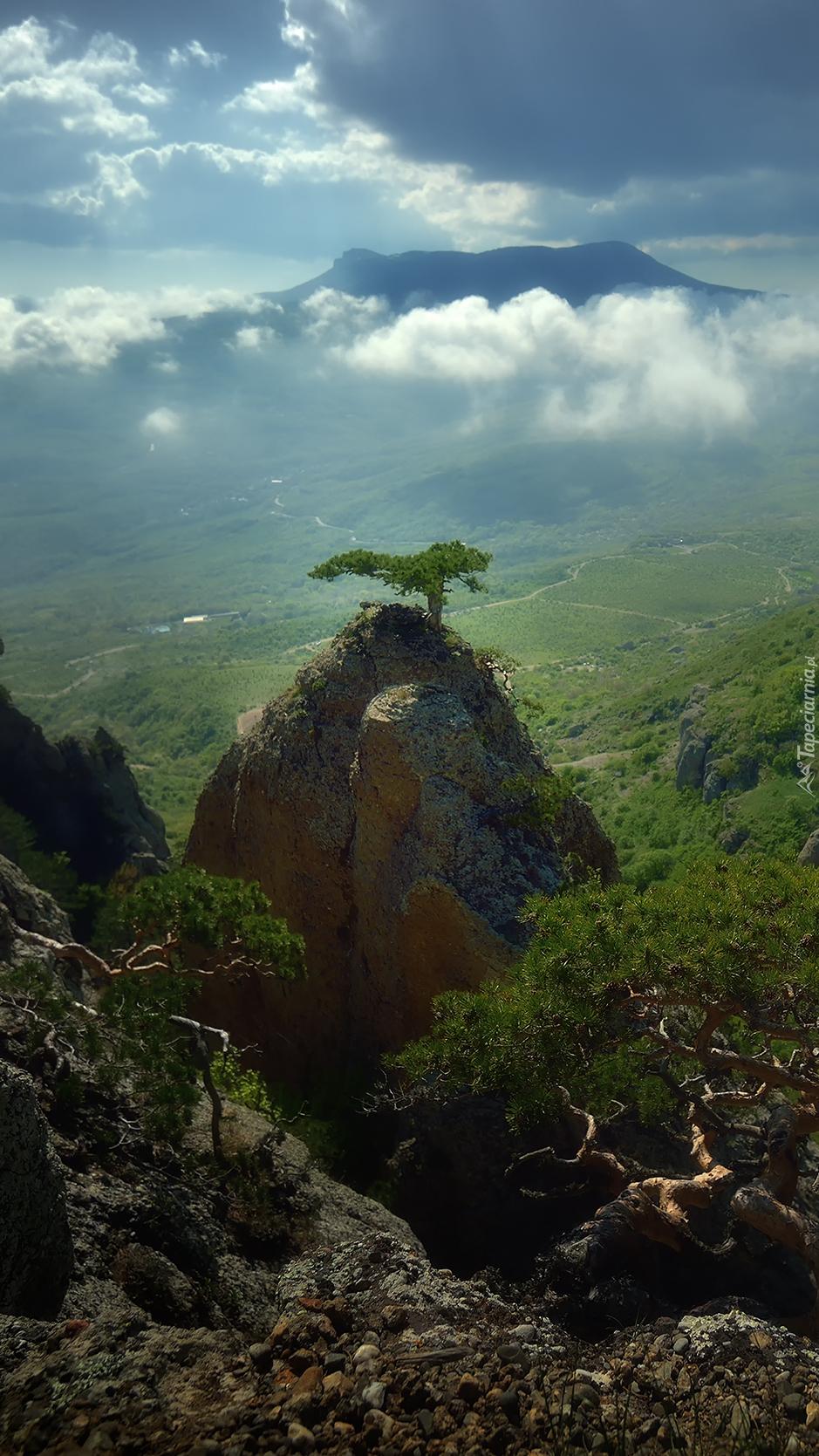 Sosna na skale w górach Krymskich