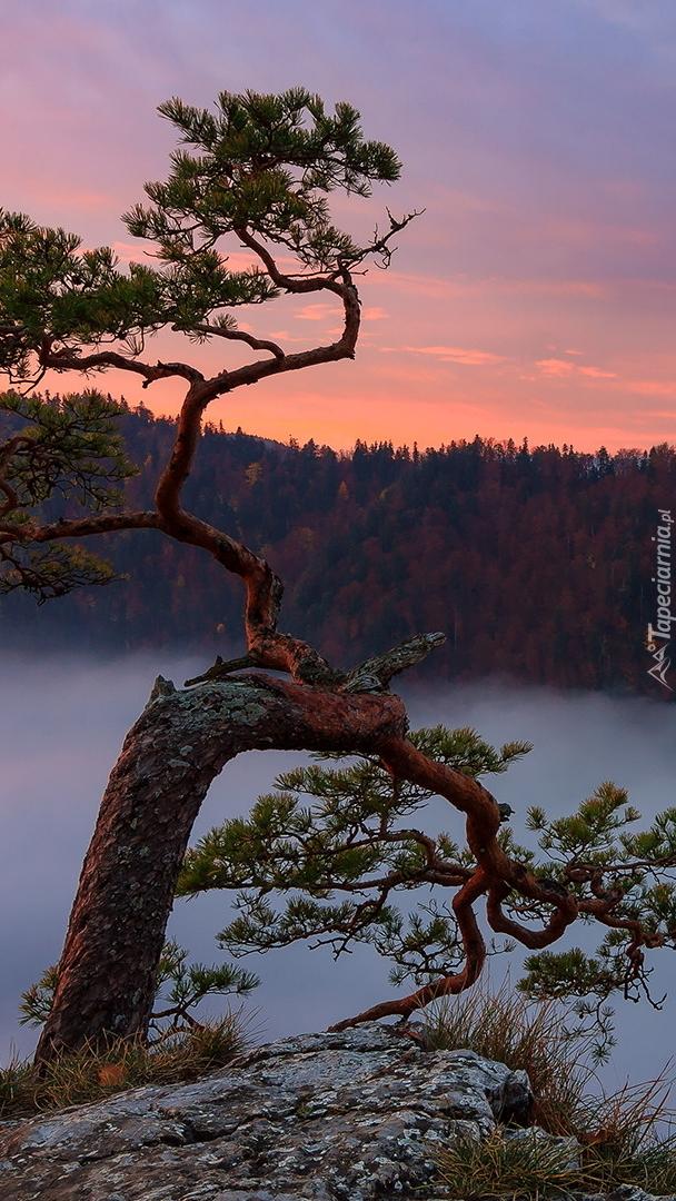 Sosna na skale w Pienińskim Parku Narodowym