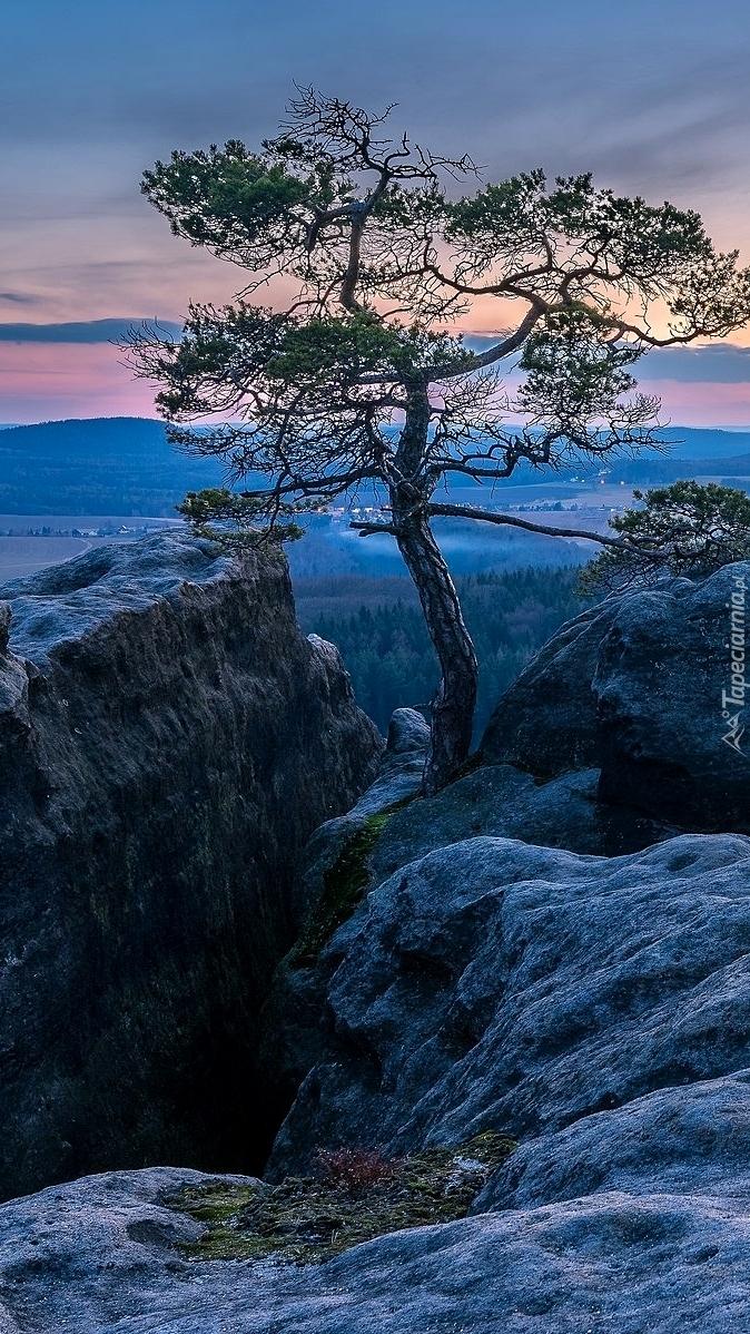 Sosna w górach Połabskich