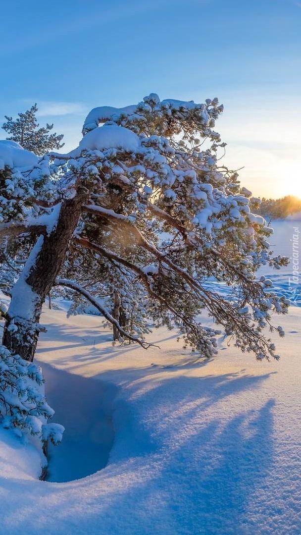 Sosna w zaspach śnieżnych