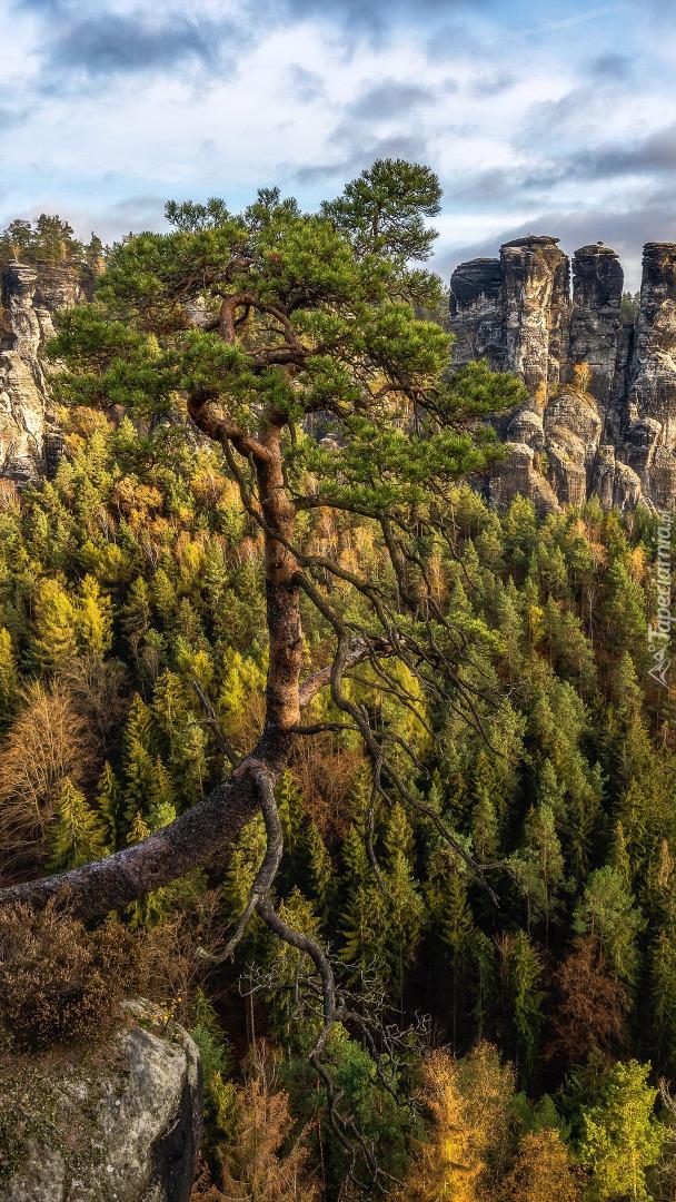 Sosny na skałach w Górach Połabskich