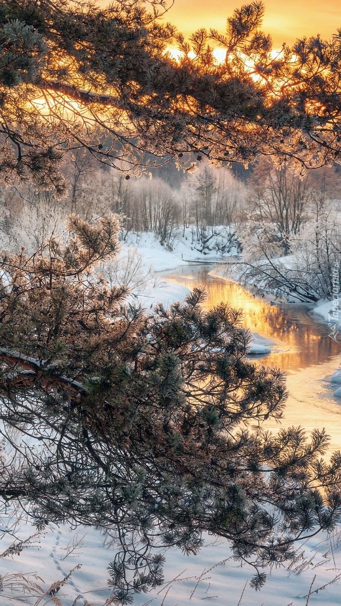 Sosny nad rzeką