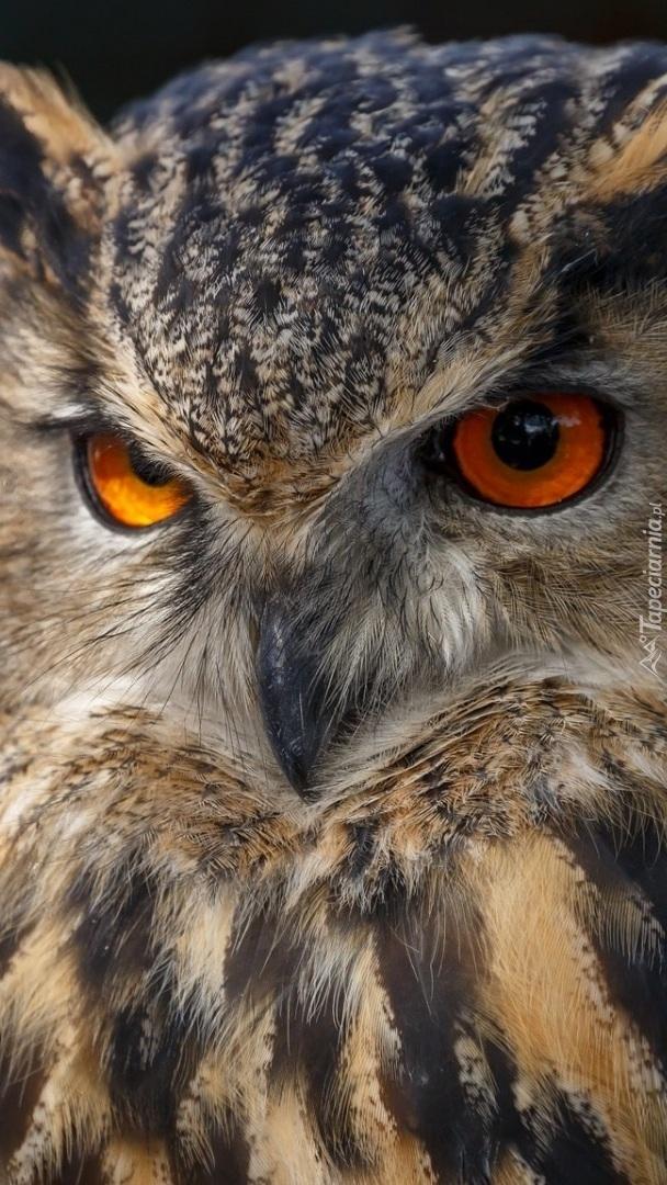 Sowa o pomarańczowych oczach