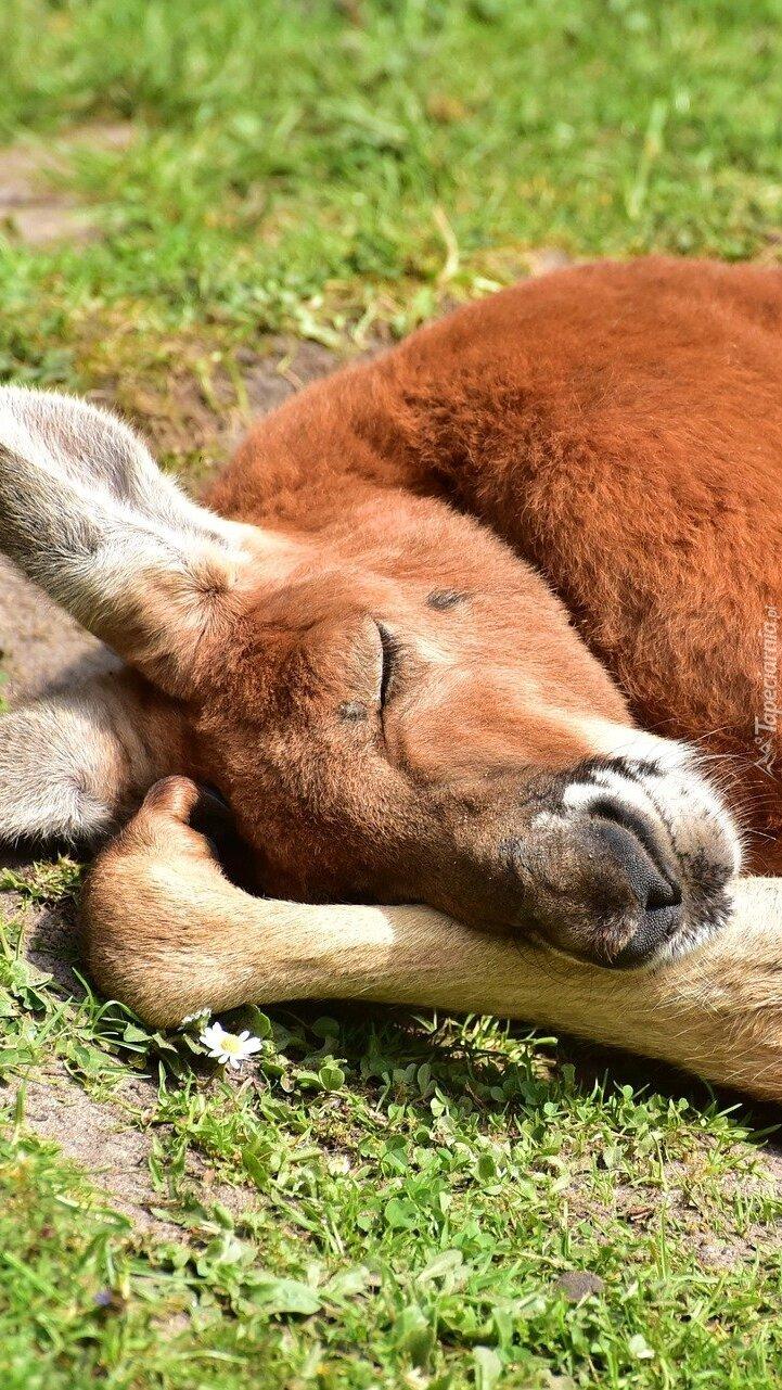 Śpiący kangur rudy