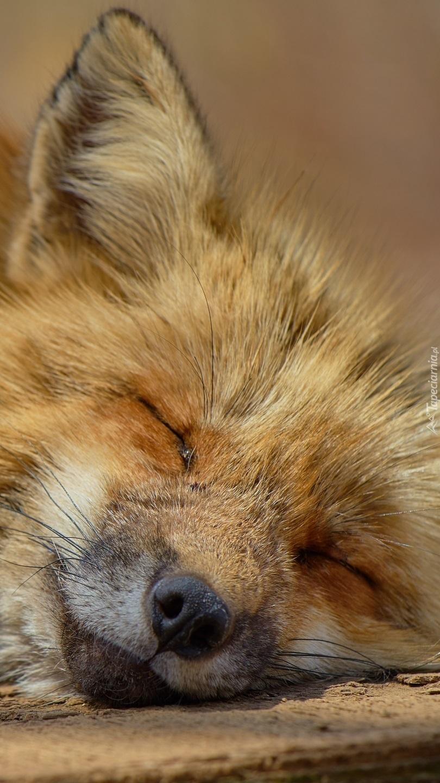 Śpiący lis