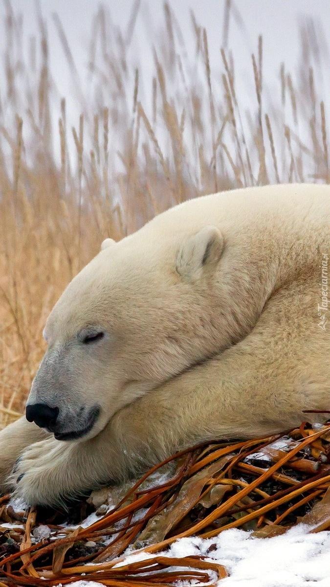 Śpiący niedźwiedź polarny