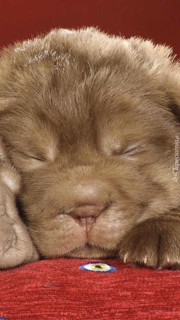 Śpiący shar pei
