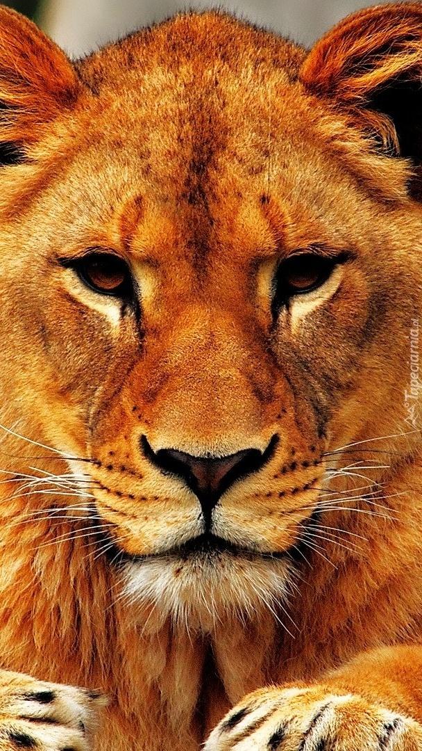 Spojrzenie lwicy