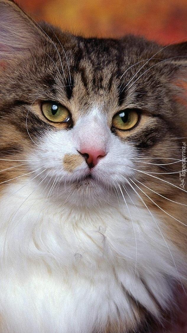 Spojrzenie norweskiego kota
