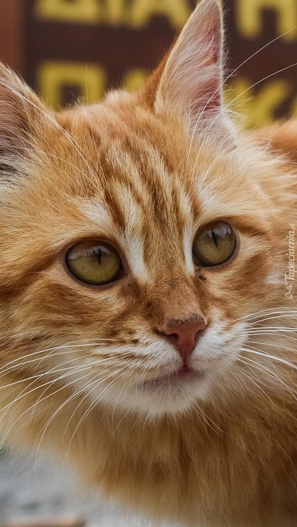 Spojrzenie rudego kota