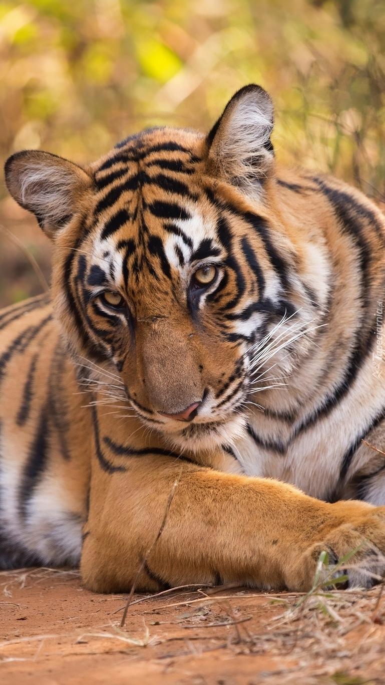 Spojrzenie tygrysa
