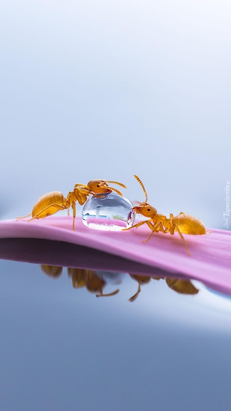 Spragnione mrówki