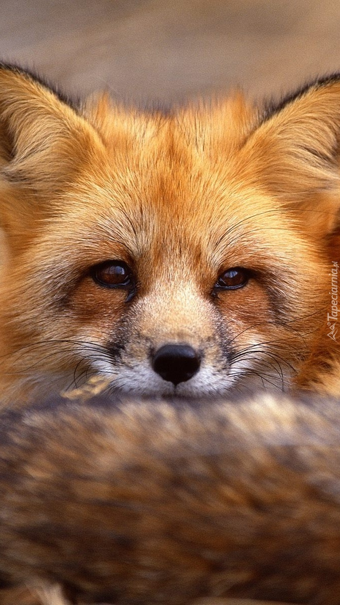 Sprytny rudy lis