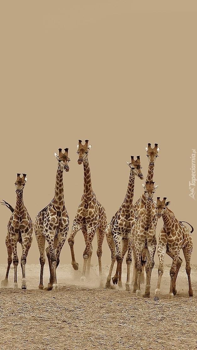 Stado żyraf