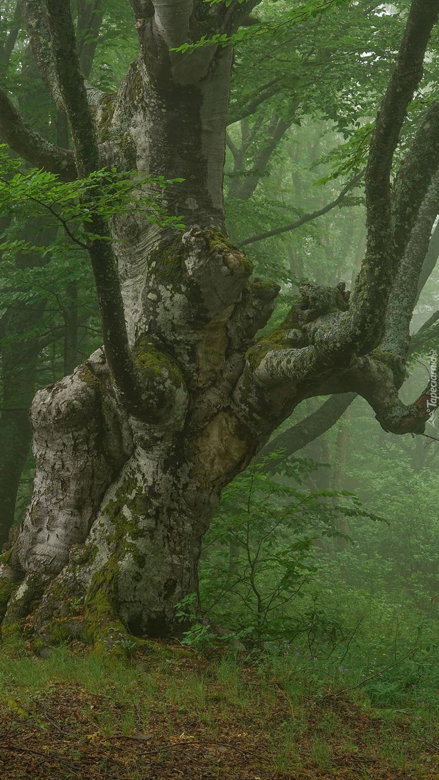 Stare drzewo w mglistym lesie