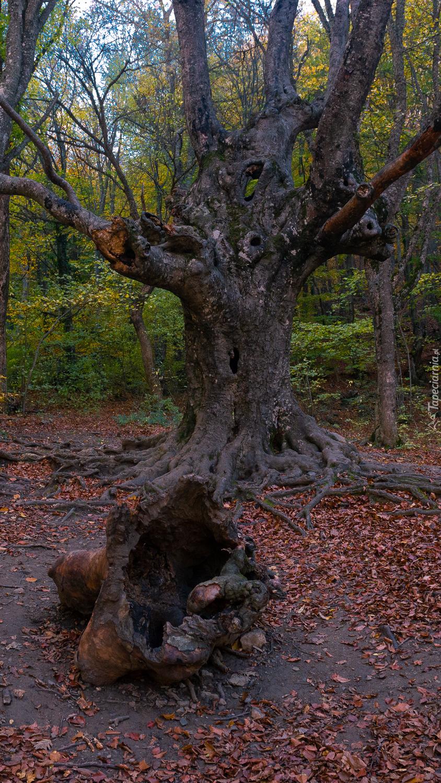 Stare drzewo z korzeniami w lesie