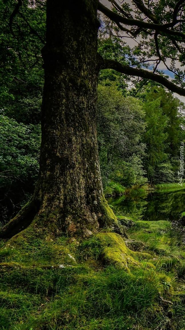 Stare drzewo z omszałymi korzeniami