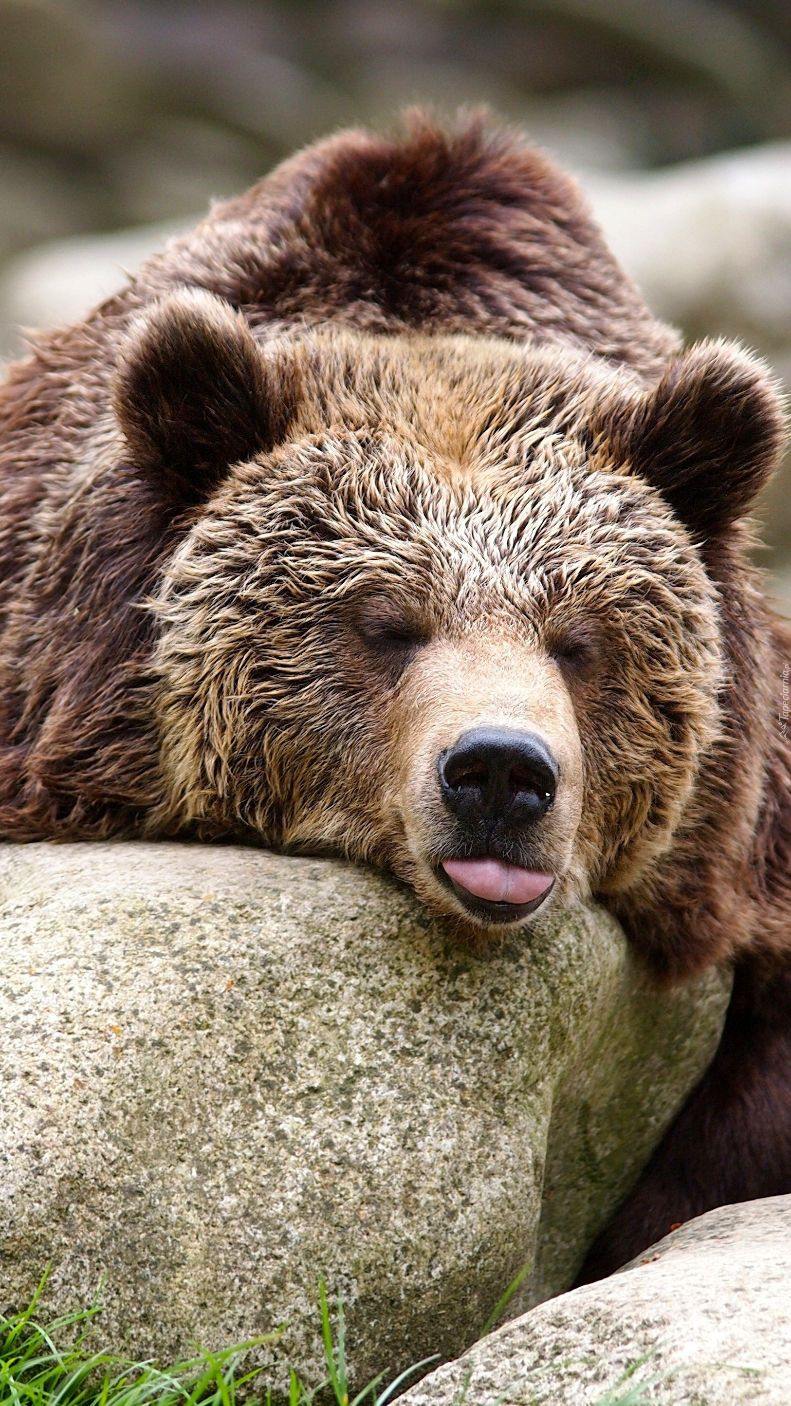 Stary niedźwiedź mocno śpi