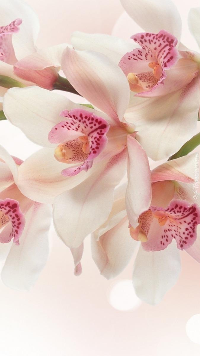 Storczyk inaczej orchidea