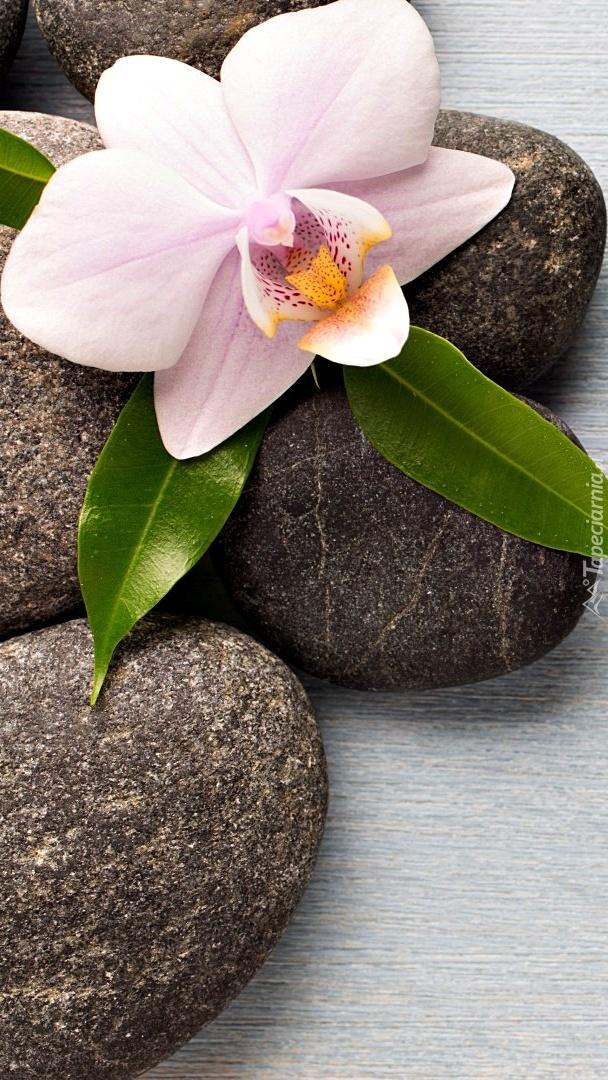 Storczyk na kamieniach