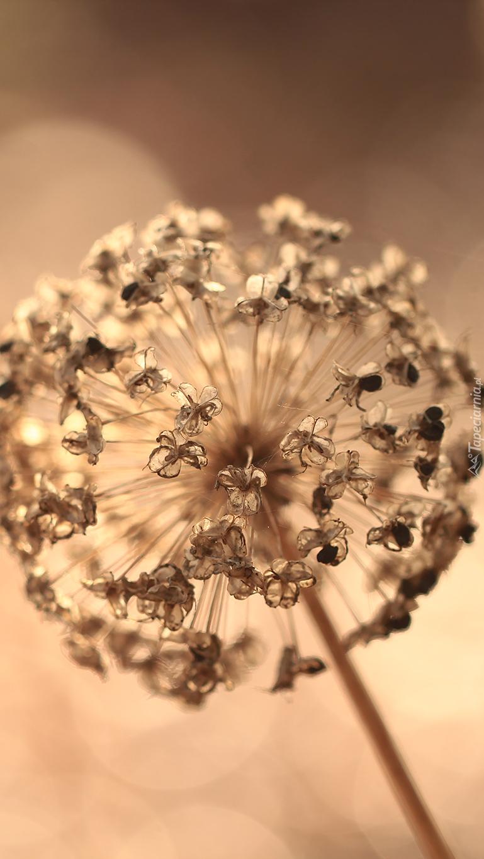 Suchy kwiat czosnku ozdobnego