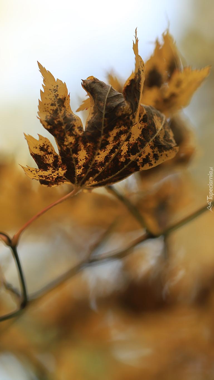 Suchy liść na gałązce