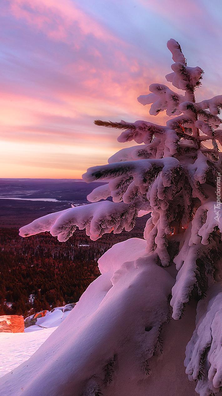 Świerk zasypany śniegiem