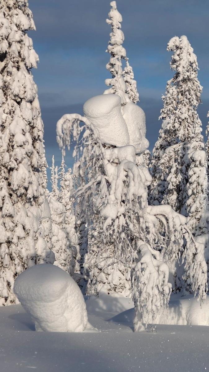 Świerki w głębokim śniegu