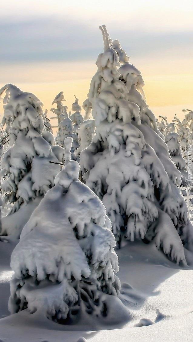Świerki zasypane śniegiem