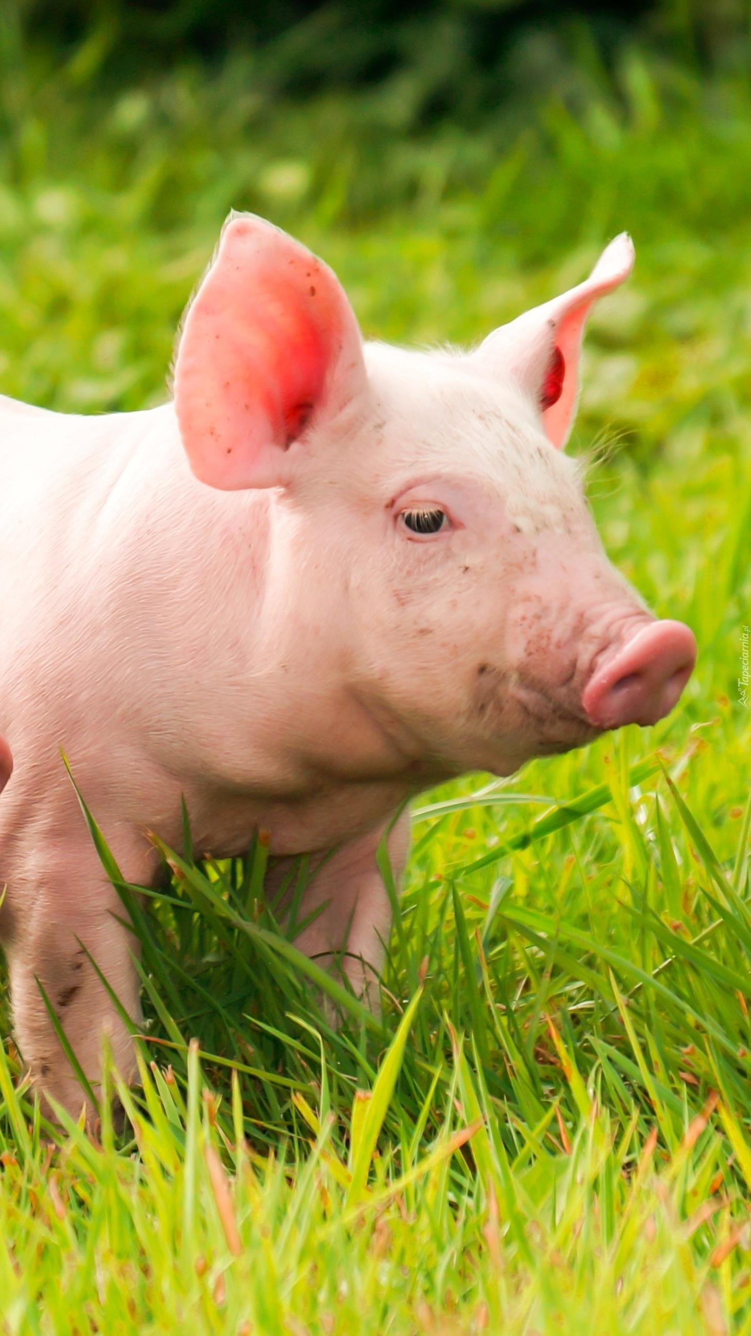 Świnka w trawie