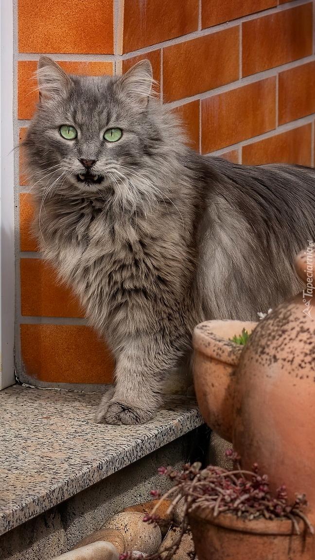 Szary długowłosy kot